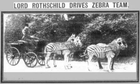 rothschild-zebras_sunday-mirror_apr-1915