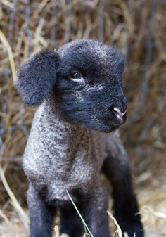 Lambing event